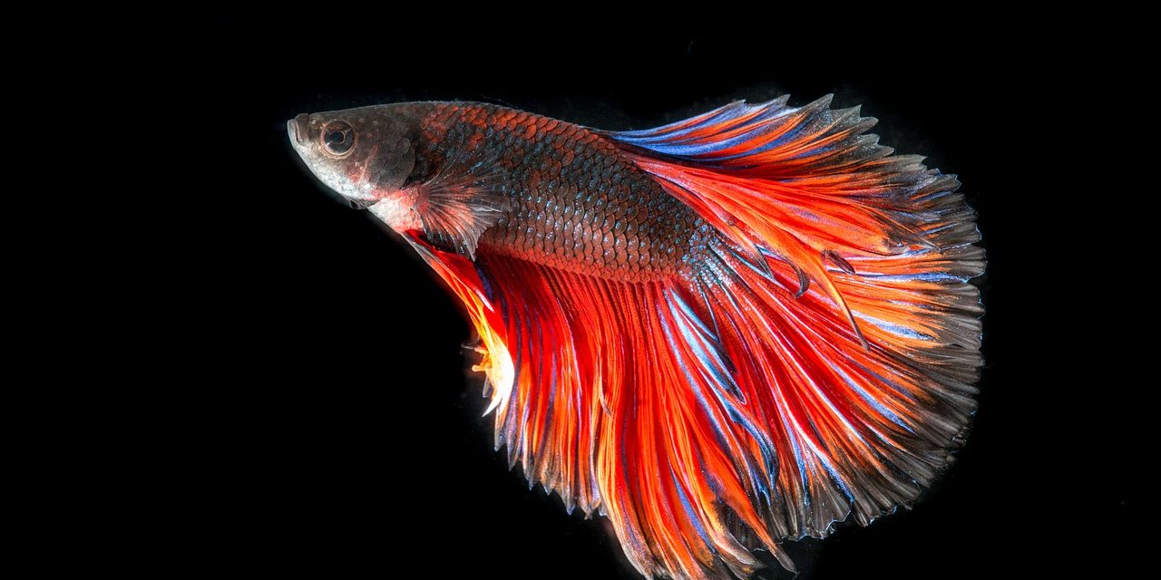 Betta fish care freshwater fish all our paws for Female betta fish names