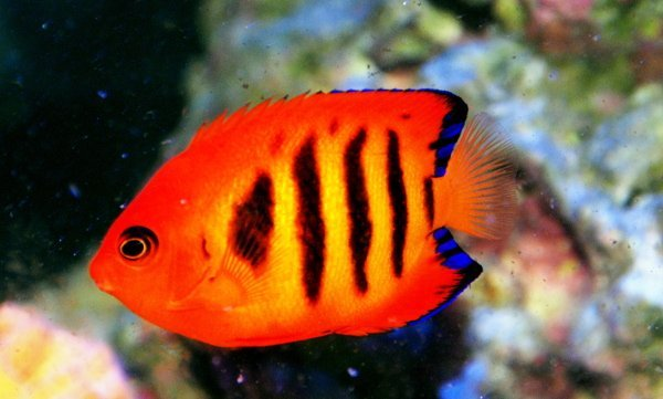 Dwarf Flame Angel Saltwater Fish