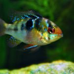 German Blue Ram Freshwater Fish