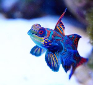 Green Mandarin Dragonet Saltwater Fish