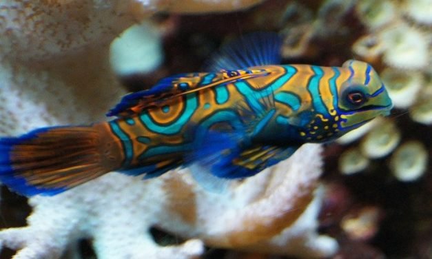 Green Mandarin / Dragonet