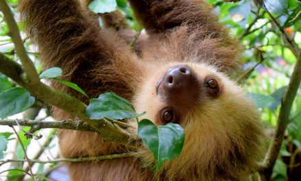 No Rush: How Slow Are Sloths Really?
