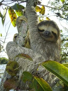 Sloth in a Tree Canopy