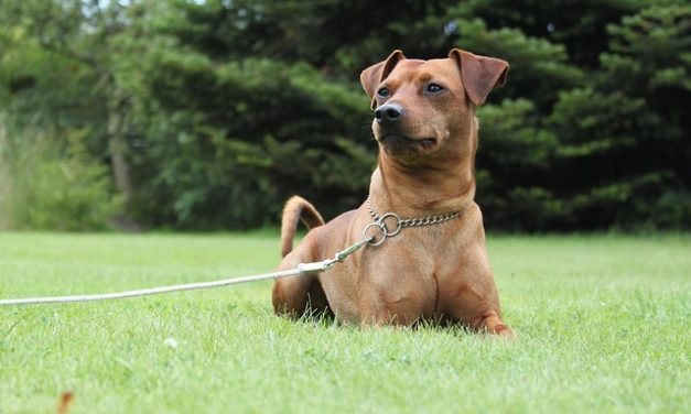 Obey Thy Master: Preparing Your Dog For Their First Obedience Competition