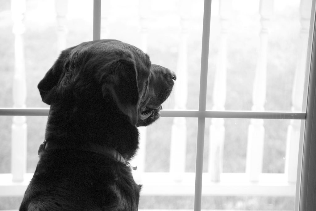 Dog with Separation Anxiety looking out the window