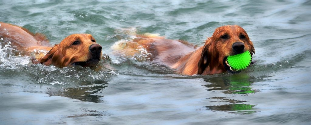Two Golden Retrievers Swimming