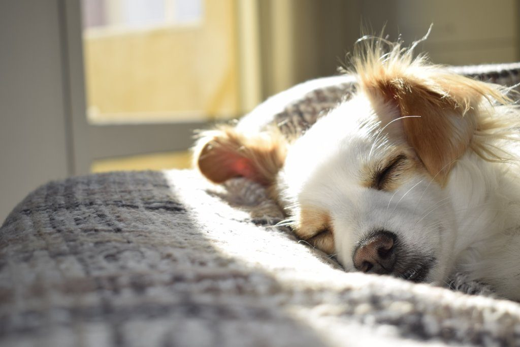 Dog Sleeping in the Sunshine