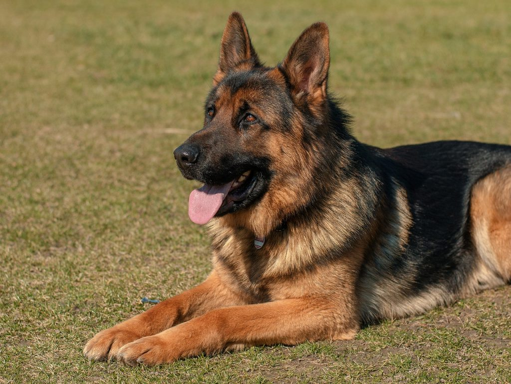 Gernan Shepherd Dog Breed