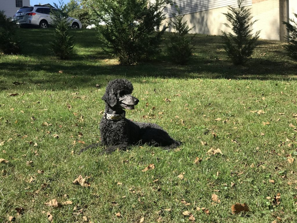 Black Poodle dog laying in the grass