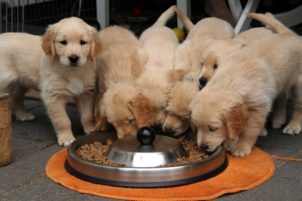 Golden Retriever Puppies Eating Kibble