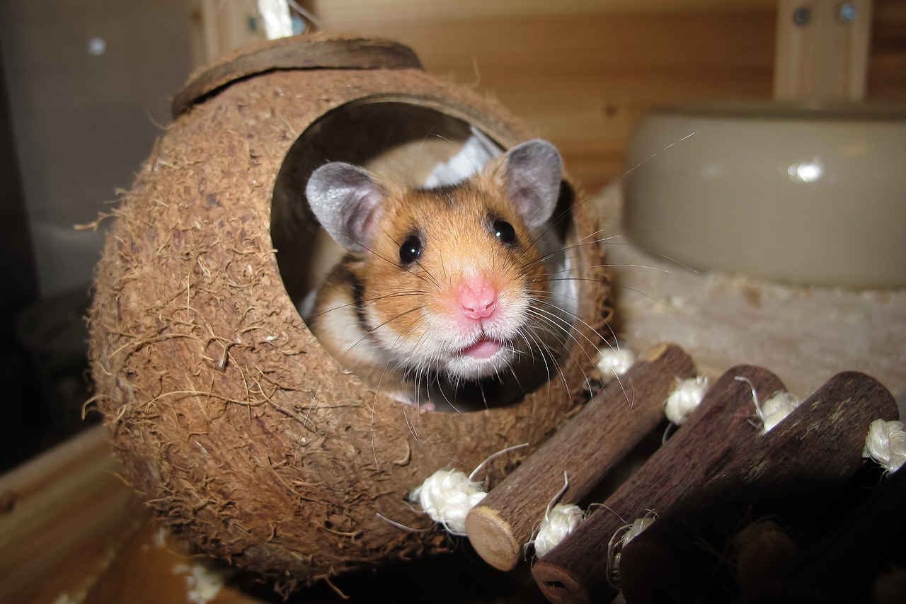 Hamster in a coconut nest