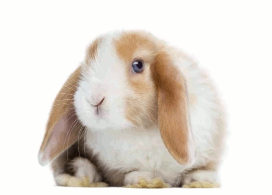 The Miniature Lop-eared Rabbit