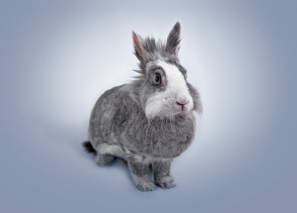 Grey and white Lion Head Rabbit