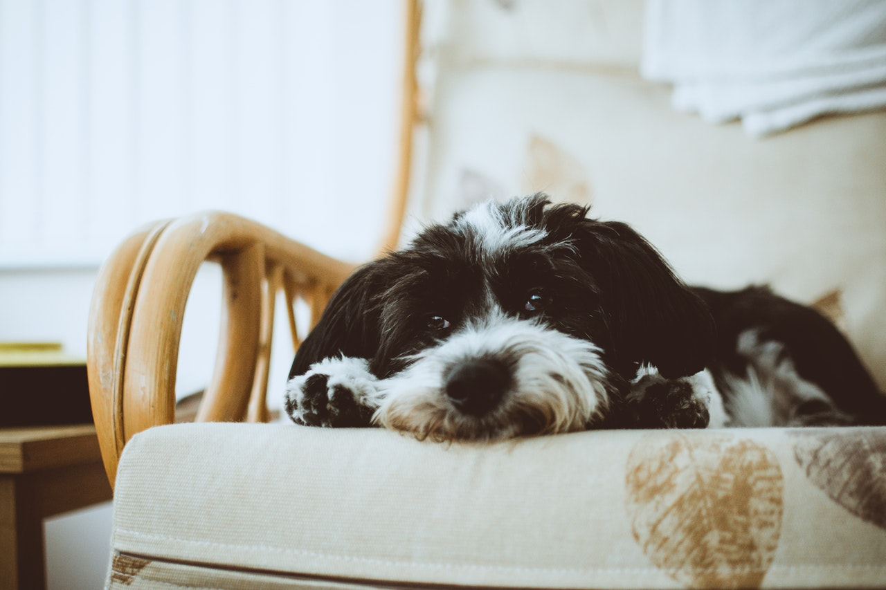 Black and White Dog Laying in a Chair