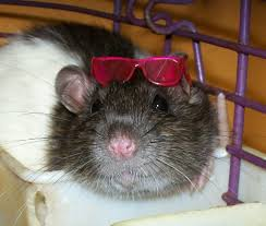 Rat Wearing Sunglasses