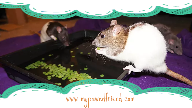 Rats Fishing for Peas