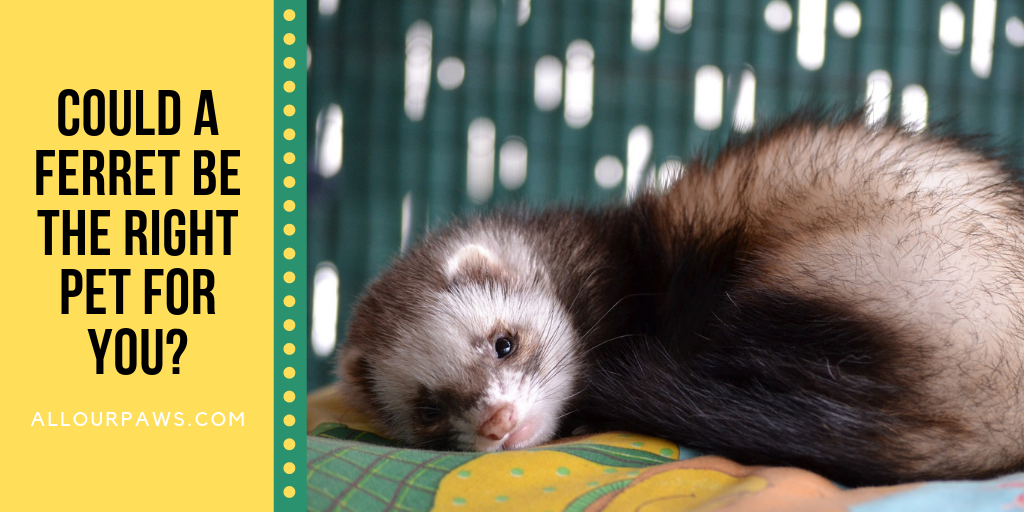 Could a Ferret Be the Right Pet for You?