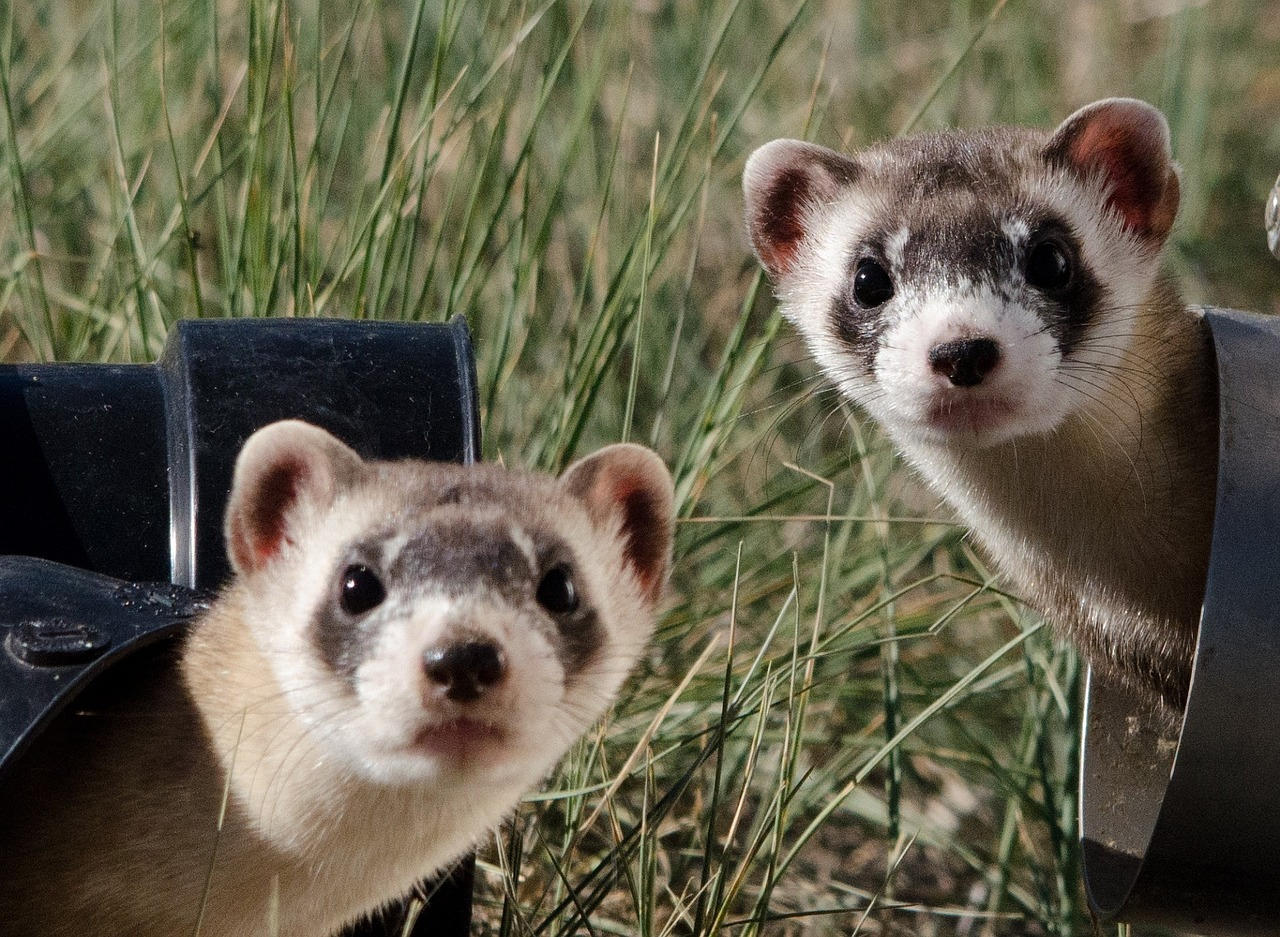 Ferrets and Kids