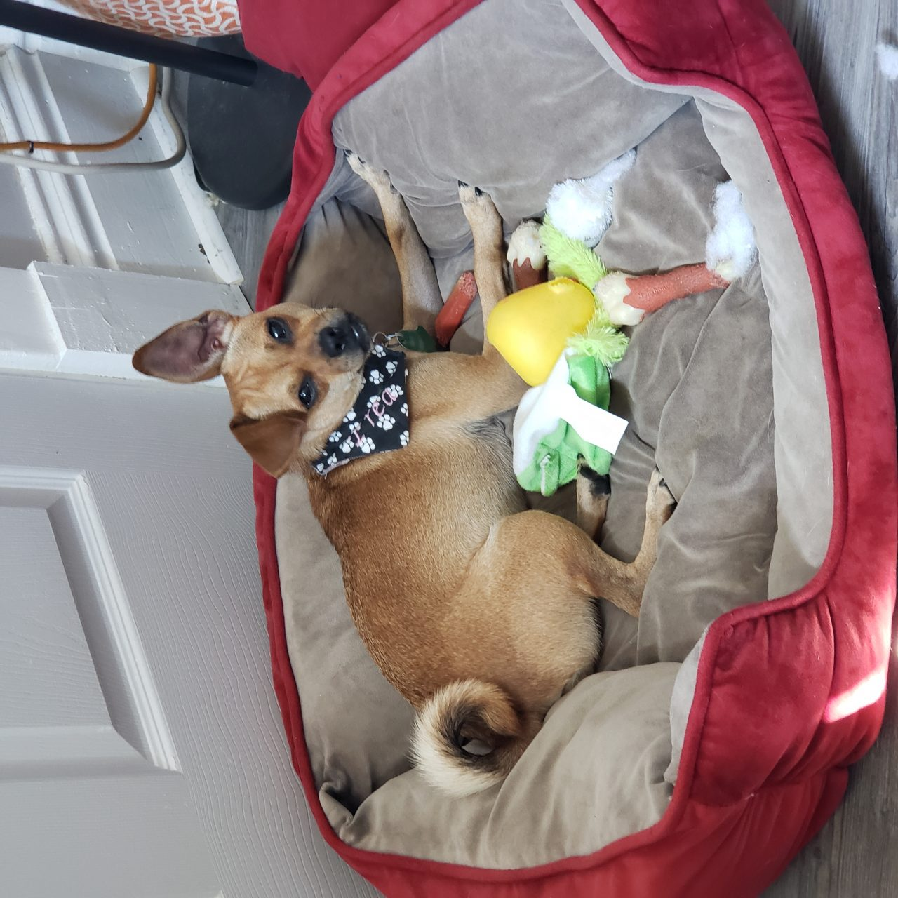 Eclaire - Chihuahua - All Our Paws Mascot