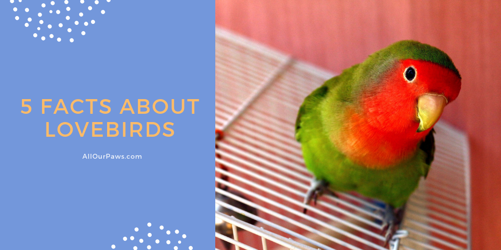 5 Facts About Lovebirds