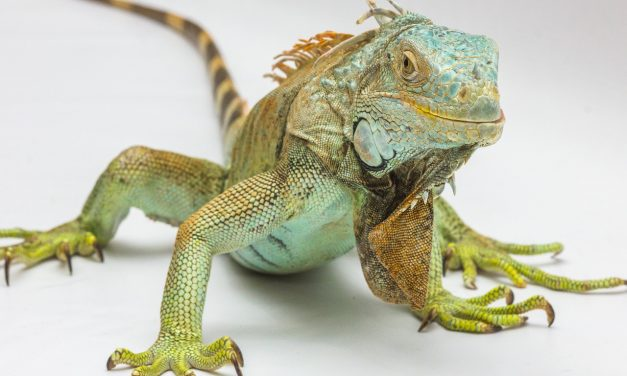 10 Facts You Didn't Know About Iguanas