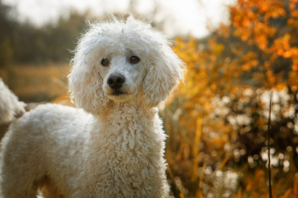 White Poodle Dog Outside