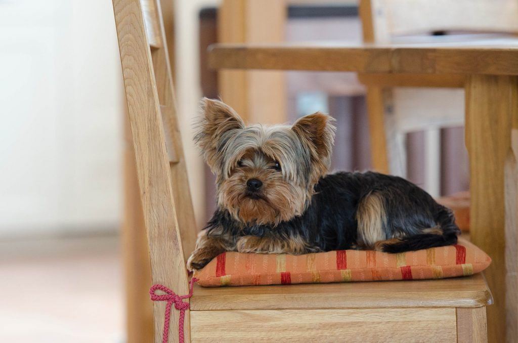 Yorkshire Terrier Dog in Rocking Chair