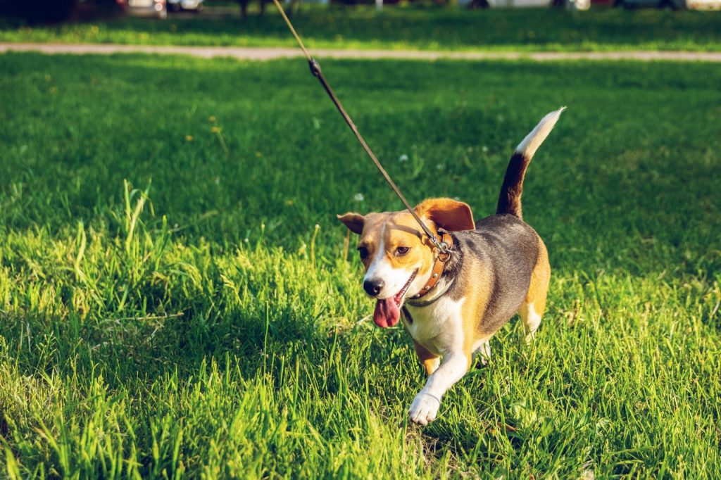 Beagle going for a  walk