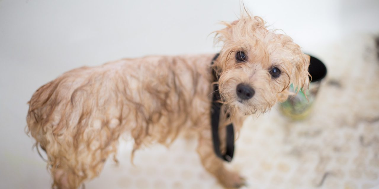 The Do's and Don'ts for Successful First Bath for Your Puppy