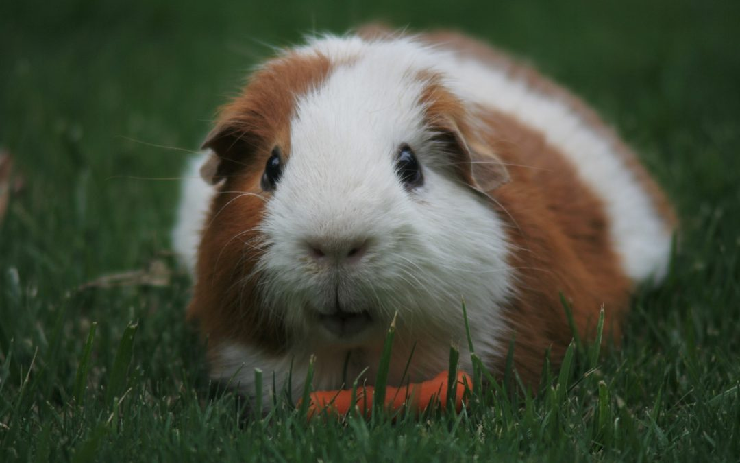 What you need to know before buying a Guinea pig