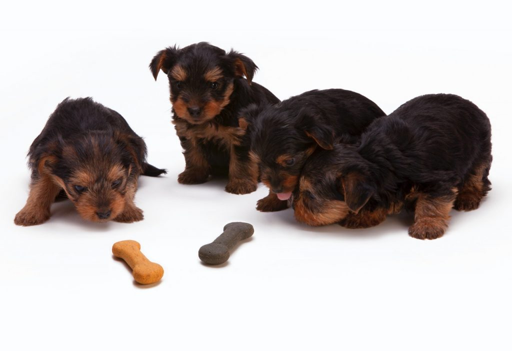 Yorkie puppies eating treats