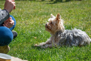 Yorkie being ttrained