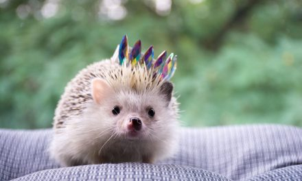 Why You Should Adopt a Hedgehog