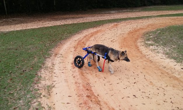 Tips on Modifying Your House for a Dog Using a Wheelchair