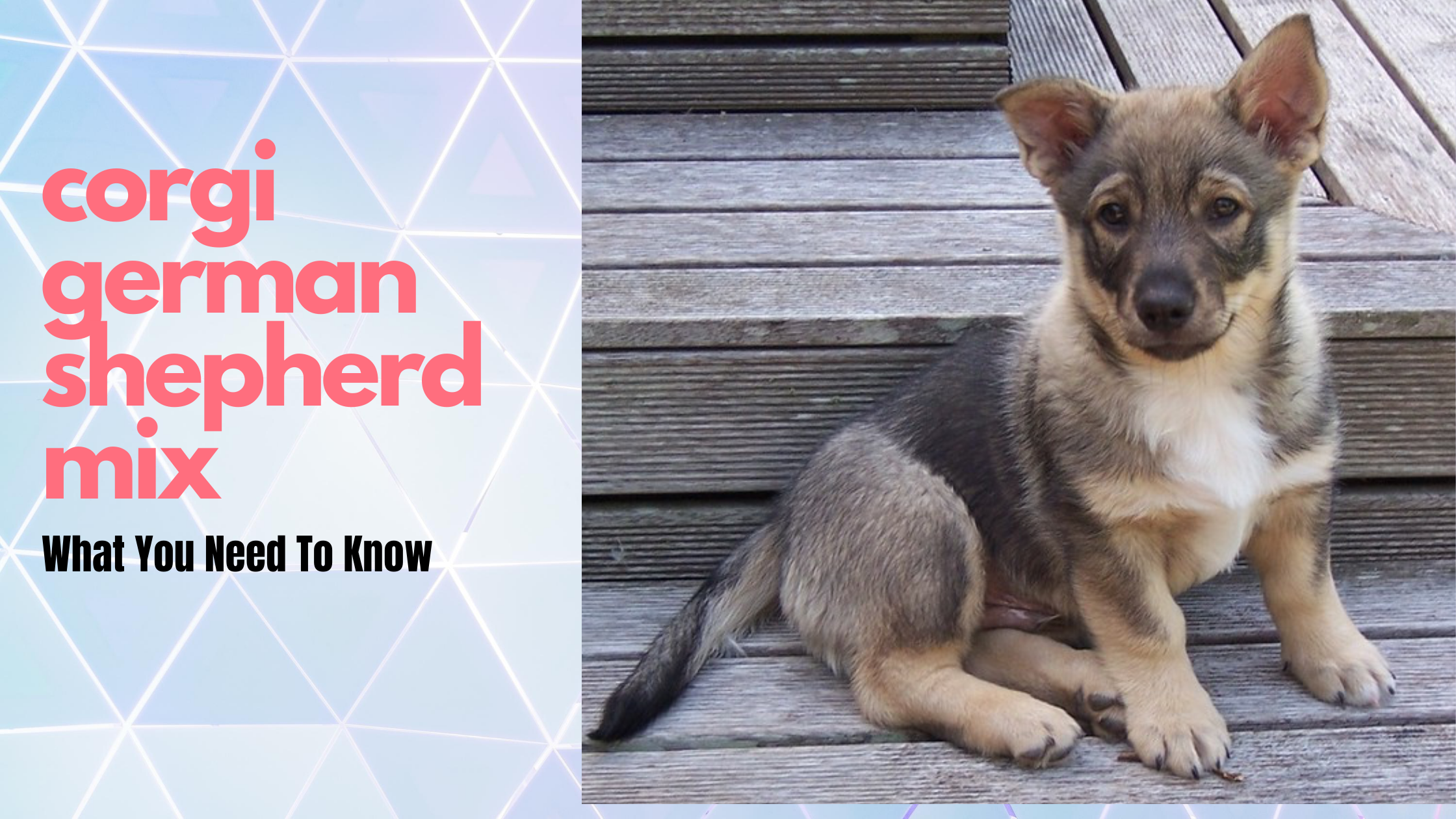 The Corgi German Shepherd Mix – What You Need To Know