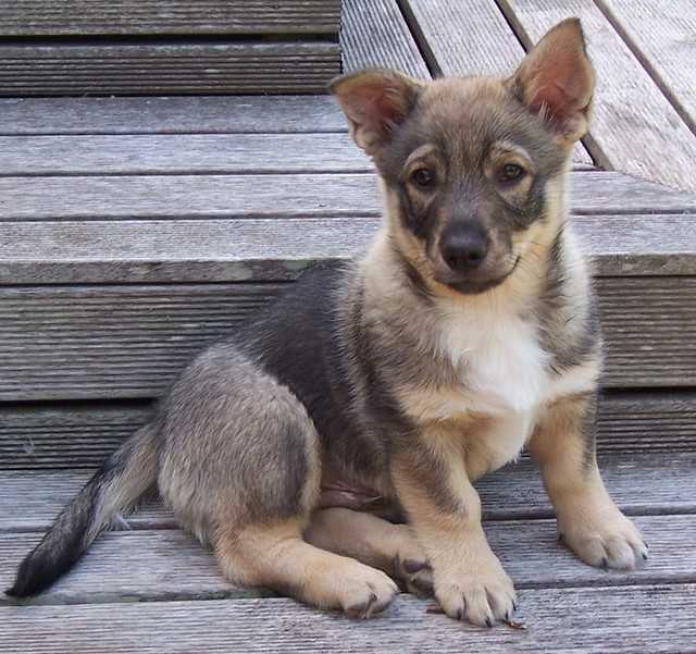 Corgi German Shepherd Puppy